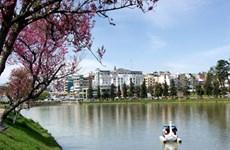 Da Lat to host cherry blossom festival