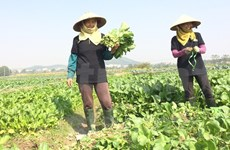 Farmers cut Tet holiday to resume production