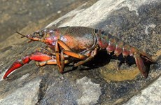 Official repeats ban on crawfish farming in Vietnam