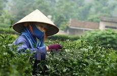 Thai Nguyen spends big to promote tea trade mark