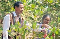 Cashew farming area in Central Highlands shrinks