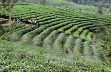 20,000 farmers join in int'l standard tea production