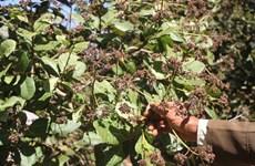 Poor crop hurts cashew farmers