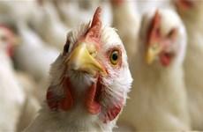 Vietnam on high alert of avian influenza virus intrusion