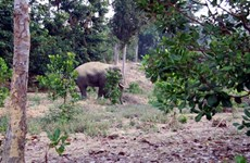 Hungry wild elephants trash crops, property