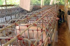 Thanh Hoa develops animal husbandry
