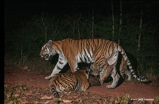 Tigers found in Thai World Natural Heritage Site