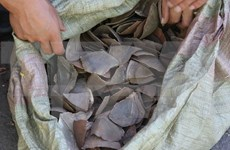 Smuggled pangolin scales discovered at Noi Bai airport