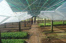 First Vietnamese ginseng seedling centre introduced