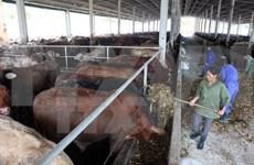 Central Highlands develops large-scale cattle farming