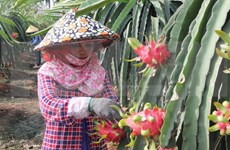 Dragon fruit farmers supported with energy-saving lights