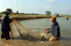 Ca Mau targets 280,000 hectares of prawn farming by 2020