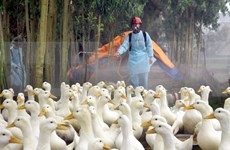 Dak Lak: bird flu forces cull of 3,565 poultry
