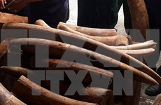 Man imprisoned for illegally transporting ivory
