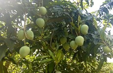 Vietnam's northern province to export mangoes to Australia