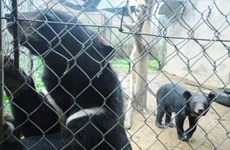 Vietnam works to end bear bile farming