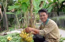 Can Tho seeks ways to export bananas to Republic of Korea