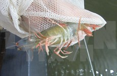 Ca Mau targets shrimp exports of 2 billion USD by 2020