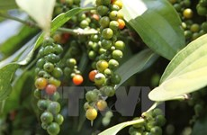 Black pepper price in Central Highlands drops strongly