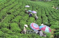 Vietnam's five-month tea export sees strong growth