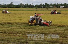 Mekong Delta's winter-spring rice output falls