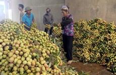 Bac Giang exports lychees to China