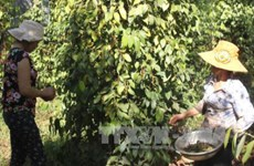 Binh Phuoc targets sustainable pepper supply chain