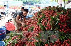 Bac Giang exports over 9,500 tonnes of lychees to China