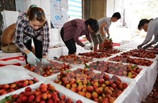 Lychees in Bac Giang sold well