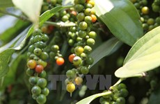 Pepper sector advised to boost clean production