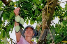 Son La-grown green mango to be shipped to Australia