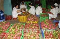 Binh Thuan looks to expand VietGap dragon fruit area