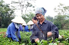 Vietnam strives to earn 250 million USD from tea exports in 2017