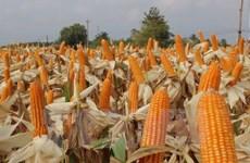 Hybrid corn seeds dominate fields in Vietnam