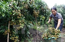 Hung Yen province's longan production down, price up