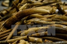 Malaysia uncovers tusk, pangolin scale smuggling cases