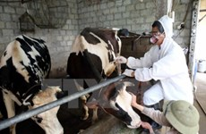 Cattle foot-and-mouth disease put under control