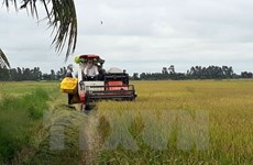 Summer-autumn rice crop output hits record in Long An
