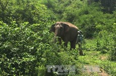 Hungry wild elephants hurt domestic ones