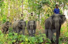 Elephant sanctuary established in Quang Nam