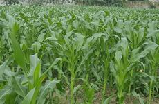 Winter crops to span 410,000 ha in northern region