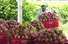 Vietnam ships first batch of dragon fruit to Australia