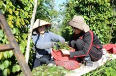 Indonesia's pepper exports up 16.57 percent
