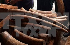 Ivory shipment through Cat Lai port investigated