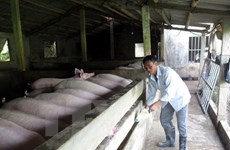 Nam Dinh, Thai Binh develop disease-free pig production for export