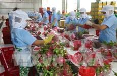More Vietnamese dragon fruits shipped to Australia
