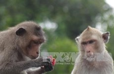 Soc Trang to feature macaques as tourist draw