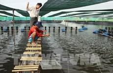 Ca Mau dense shrimp farming area expanded