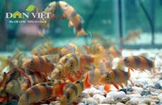 Ho Chi Minh City boosts ornamental fish exports