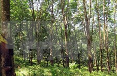 Quang Tri signs rubber plantation contract with Laos